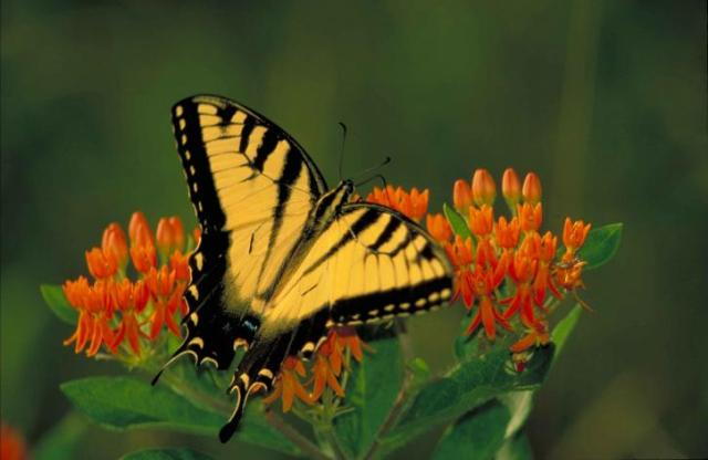 black-striped-yellow-tiger-swallowtail-butterfly-pterourus-glaucus-sitting-on-orange-blossom-725x472.jpg
