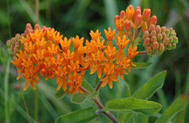Butterfly_Weed_Entire_Flower_Head_2608px.jpg